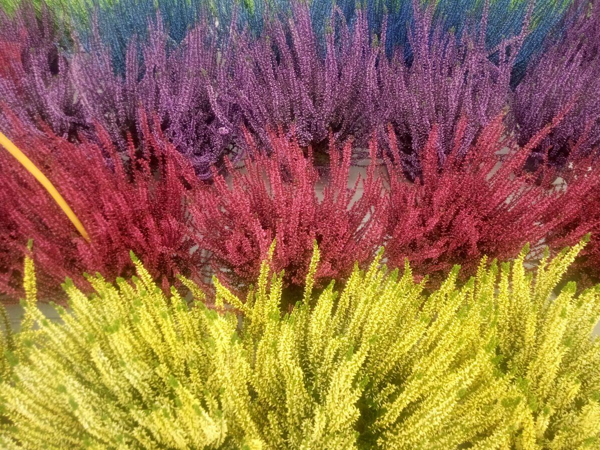 Fiori Del Mese Di Giugno fiori d'inverno: crisantemi, ciclamino, erica alla valle dei